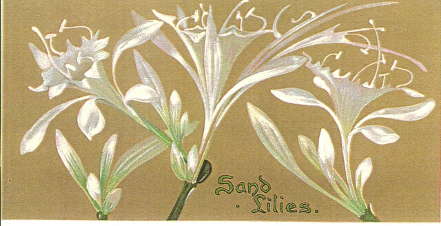 72 desert lily